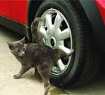 Любовь кошки к автомобилю
